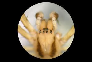 Depiction of Golden web spider