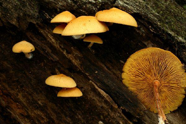갈황색미치광이버섯, 미치광이버섯