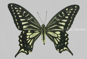 Depiction of Papilio xuthus Linnaeus, 1767