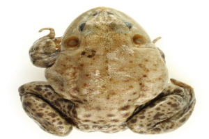 Depiction of Asian toad