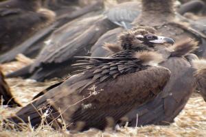 Depiction of Cinereous Vulture